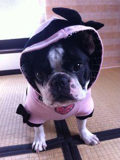 MILKO, the French Bulldog
