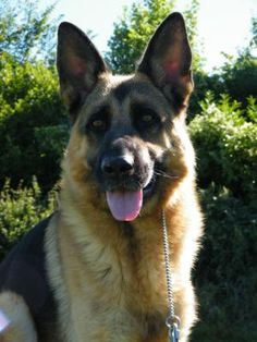 German Shepherd Dog Breeders - Champdogs ® : Page 5