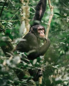 One of most unique experiences in Uganda, the private capital of the world,  is tracking wild chimpanzees in the Kibale Rainforest. The $200 permits are in high demand, and should be booked well in advance. #uganda #kibale #chimpanzees Gorilla Trekking, Uganda Travel, Mountain Gorilla, Paradise Found, Baboon, Chimpanzee, Primates, Photo Location, Lions