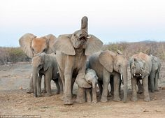 One baby elephant looks puzzled as it stands next to its mother and the other elephants