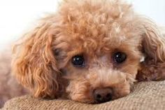 Image result for toy poodles
