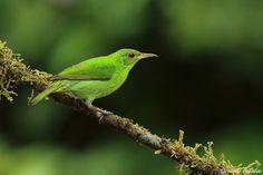 creatures-alive:  Green honeycreeper - Costa Rica by Gerardo Colaleo