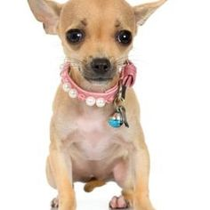 Apple head Chihuahuas have a more prominent forehead and skull.