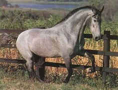 Afiado:Campolina Campolina, Suffolk Punch, Horse World, All The Pretty Horses, Clydesdale, Horse Saddles, Dressage, Cologne, Brazil
