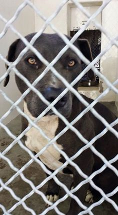 CALIFORNIA!!!!! Please FOSTER & SAVE a LIFE!!! This Girl is Very Sweet & Elegant!!! Saving Carson Shelter Dogs #A4825170 I'm a female pit bull mix about 3 years old. I came to the shelter because I was confiscated from my owner on May 1, 2015 NOT LISTED ONLINE Part of an investigation Carson Shelter, Gardena, California https://www.facebook.com/171850219654287/photos/a.172032662969376.1073741830.171850219654287/404813346357972/?type=1&permPage=1