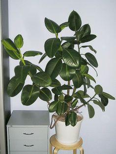 Ficus Elastica Robusta - Rubber Plant