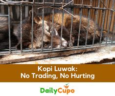 There was a time when no list of the world's premium coffees was complete without a mention of Kopi Luwak. But do you know what it is? And even more importantly, do you know about the impact the trade in this coffee is having on wildlife?At prices reaching up to $700 per kilogram, Kopi Luwak …