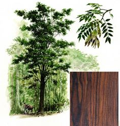 A tropical hardwood of the tree Dalbergia retusa from Central America. Only the heartwood is used: this is typically orange or reddish-brown in color, often with a figuring of darker irregular traces weaving through the wood. The sapwood (not often used) is a creamy yellow, with a sharp boundary with the heartwood. The heartwood is known to change color after being cut, lending to its appeal.