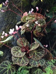 Spectacular Begonia rajah