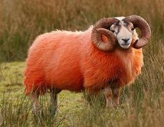 Red Sheep of Scotland. This colorful tradition is ages old in Ireland and Scotland, where farmers  were painting sheep red, or marking them with color - to make them easier  to find.