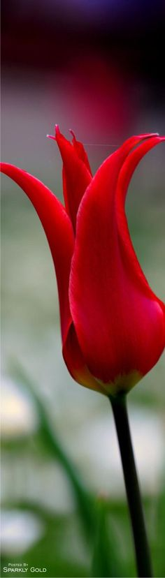Beautiful red flower.                                                       …