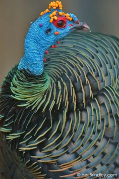 Ocellated Turkey (Meleagris ocellata). Tikal National Park, Guatemala