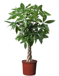 Money Tree plant (Pachira aquatica) is a popular feng shui plant. Learn how to grow and care for a Pachira aquatica at Potted Plants, Indoor Plants, Plant Pots, Hanging Plants, Air Plants, Pachira Aquatica, Ficus, Easy Care Plants, Flowers