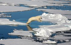 A polar bear negotiates the ice floes in the Arctic. Let's help this beautiful animal, let's #savethearctic. Photo Credit: Chrissie Goldrick