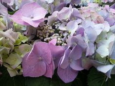 flower, fragility, beauty in nature, petal, growth, nature, freshness, flower head, no people, plant, springtime, blooming, day, outdoors, hydrangea, close-up