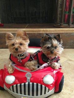 I wanna go with these 2 Cuties from Yorkie Town. Cute Puppies, Cute Dogs, Dogs And Puppies, Yorkies, Morkie Puppies, Cute Baby Animals, Funny Animals, Yorshire Terrier, Yorkshire Terrier Puppies
