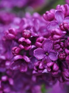 Lilacs in the spring - smell so delicious!!!