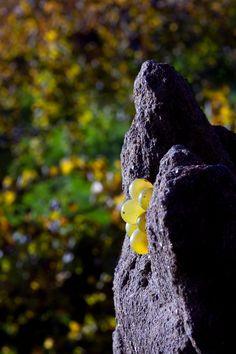 A natureza do Alvarinho no seu esplendor… The splendorous Alvarinho nature … #Vinha #Vineyard #Soalheiro