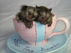 Baby marmoset monkeys for adoption | Ickle Classified