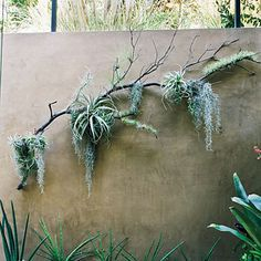 30 Charming Succulent Wall Art Ideas For Minimalist Garden - Tenacity is a key word for cacti and succulents. They make a good choice of plant for gardeners who lack the knack that sees plants flourish, but who . Succulent Wall Art, Plant Wall, Plant Decor, Succulent Planters, Succulents Garden, Air Plants, Garden Plants, Indoor Plants, House Plants