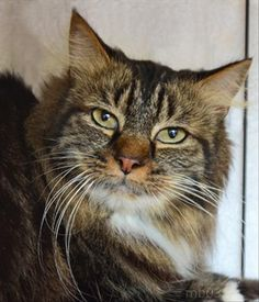 Are you looking for a super cuddly kitty to curl up in your lap? My name is Reggie, and I might be the perfect match for you. Come down & meet me today or call 408-262-2133 x 150 for more information.