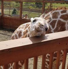 Giraffe smile