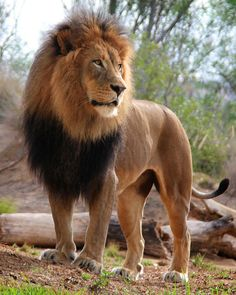 "Male African Lion ""King of Beasts"" Wild Animals Pictures, Lion Pictures, Animal Pictures, Izu, Animals And Pets, Funny Animals, Cute Animals, Beautiful Lion, Animals Beautiful"