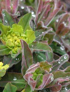 Euphorbia polychroma 'Purpurea' - Braunrote Wolfsmilch