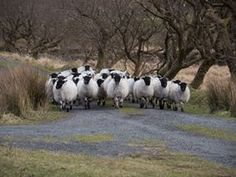 sheep Donegal, Sheep, Goats, Animals, Animales, Animaux, Animal, Animais, Goat