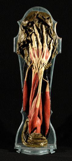 ☆ Anna Morandi and Giovanni Manzolini  Muscles of the Forearm :¦: University of Bologna ☆