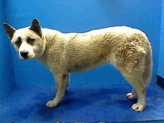 URGENT CODE RED DEATH ROW #BROOKLYN #NY 4 YEAR OLD  FEMALE AKITA OWNER SURRENDER  https://www.facebook.com/photo.php?fbid=651998104813072=a.617941078218775.1073741869.152876678058553=1