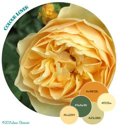 A Spring color palette from yellow David Austin roses,