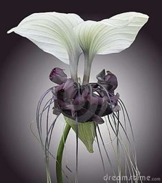 Bat Plant or Devil Flower, Tacca chantrieri, is native to Southeast Asia. Bat plants have black or white flowers; the flowers on both varieties resemble the wings and head of a bat with long filaments forming a tail. Unusual Flowers, Rare Flowers, Amazing Flowers, White Flowers, Beautiful Flowers, Bat Plant, Bat Flower, Large Flower Pots, Unusual Plants