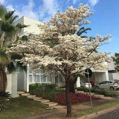 Conheça e aprenda como ter essa árvore no quintal da sua casa com apenas alguns cuidados #ipes #lindosipes #florescoloridas, #casa #modacasa#jardins #jardinagem