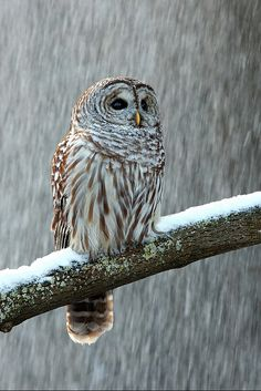Barred Owl In the Snow --- by Alex Thomson13, via Flickr