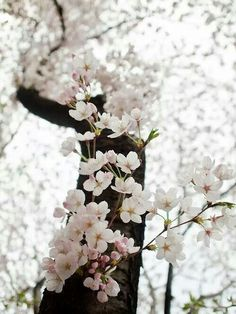 lovely shot of a cherry tree