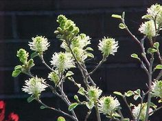 Fothergilla gardenii - My favorite shrub; spring bloom, interesting foliage and beautiful fall color