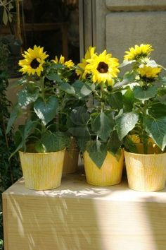 Potted Sunflowers for part of the centerpiece