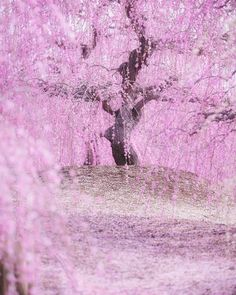 Beautiful Photos Capture the Magical Beginnings of Japan's Cherry Blossom Season Photographer Koji captures the beauty of Japan's cherry blossom season in full bloom, showing the landscape covered with blankets of beautiful pink flowers. Pink Blossom Tree, Cherry Blossom Wallpaper, Cherry Blossom Japan, Cherry Blossom Season, Spring Blossom, Cherry Blossoms, Cherry Season, Pink Trees, Beautiful Landscapes