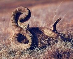 Your sweet home longs for a new life! Add some excitement to the interiors with this wild Rattlesnake Desert Animal art print poster. This beautiful poster depicts the image of an wild rattlesnake sitting in a desert field is sure to catch lot of attention. This poster delivers a sharp vivid image with a high degree of color accuracy which ensures long lasting beauty of the product. Order today and enjoy your surroundings.