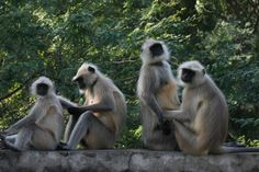 RANTHAMBORE NATIONAL PARK: Langur monkeys at the entrance to Ranthambore National Park, India