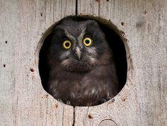 fairy-wren:  boreal owl(photo by mattisj)
