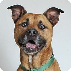 Otto - Pit bull terrier mix