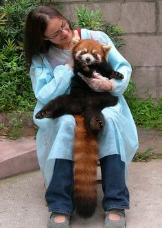 Red Panda 2 | Flickr - Photo Sharing!