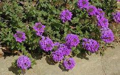 /verbena-homestead-purple2.bmp