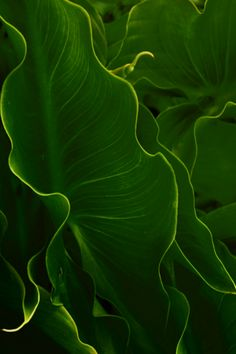 Beautiful large rich green tropical leaves!