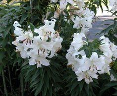 Lirio blanco (Lilium candidum)
