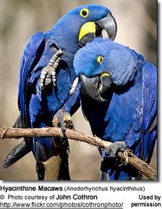 "The Magnificent and Rare Blue Macaws. ""Blue Macaws"" includes several (mostly) large macaw species, some of which are at the brink of extinction, others are already gone."