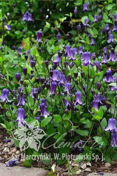 клематис 'Rooguchi' (Роогучи) Pink Bar, New Growth, Trellis, Blue Flowers, Perennials, Herbs, Plants, Herb, Perennial