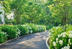 Fabulous driveway framed by white Annabelle hydrangeas and regularly spaced trees on either side.